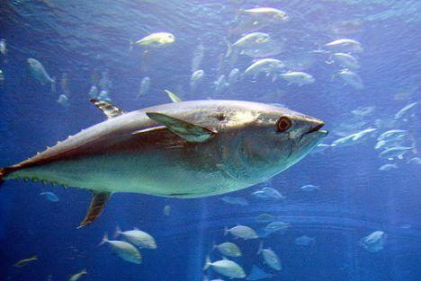 Un thon rouge vendu 300 000 euros à Tokyo